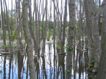 Bäume im Sumpf